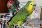 Papagaio pode ajudar a elucidar base genética da cognição - a capacidade de adquirir conhecimento - em humanos