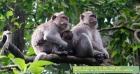 Doze macacos MORRERAM DE MEDO: Ataque card?aco coletivo depois que UM TIGRE ia na dire??o deles
