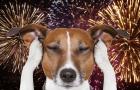 Faixa realmente protegem os cães? Donos de animais domésticos devem preparar ambiente para a noite de fogos!